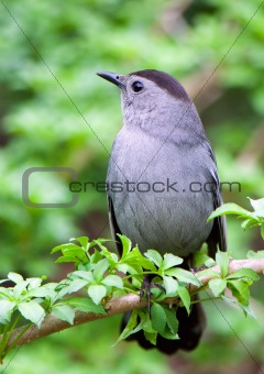 catbird sitting on a green branch