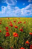 Beautiful field with numerous poppies