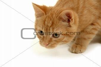 Kitten is hunting