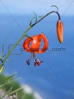 blossom lily