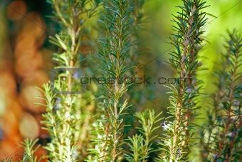 Green rosemary