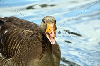 Gray lag goose