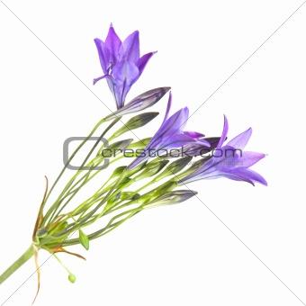 Brodiaea , clusterlily