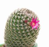 flowering cactus, isolated