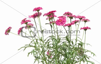 small marguerite bush, isolated