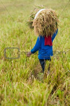farmer harvesting rice paddy