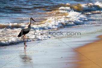 White stork in beach