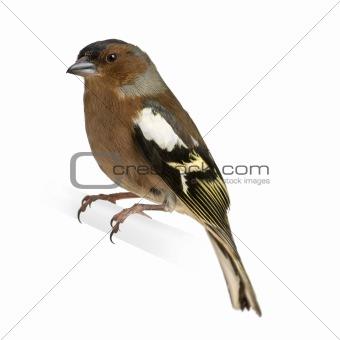 Chaffinch - Fringilla coelebs on its perch