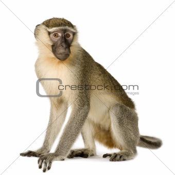 Vervet Monkey - Chlorocebus pygerythrus