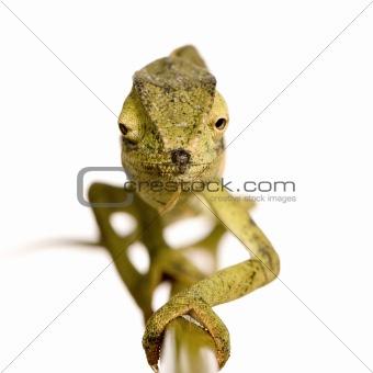 Chameleon Chamaeleo gracilis or dilepis