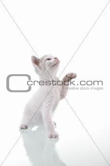 Baby Kitten Playing