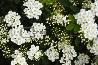 Bridal wreath shrub flowers
