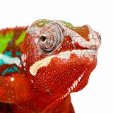 Chameleon Furcifer Pardalis - Ambilobe - 18 months