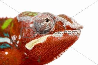 Chameleon Furcifer Pardalis - Ambilobe - 18 months