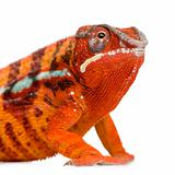 Chameleon Furcifer Pardalis - Sambava (2 years)