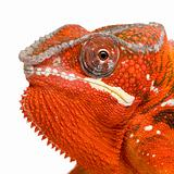 Chameleon Furcifer Pardalis - Sambava - 2 years