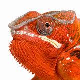 Chameleon Furcifer Pardalis - Sambava - 2 years