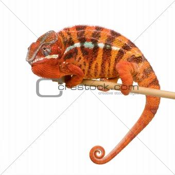 Chameleon Furcifer Pardalis - Sambava (2 years)