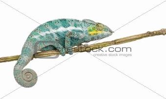 Chameleon Furcifer Pardalis - Nosy Faly - 18 months