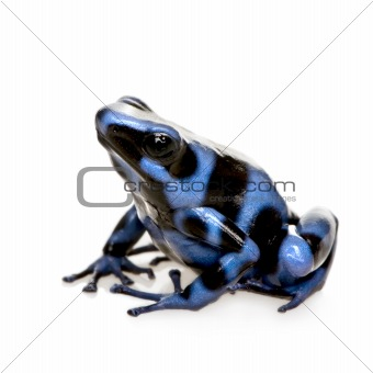 blue and Black Poison Dart Frog - Dendrobates auratus