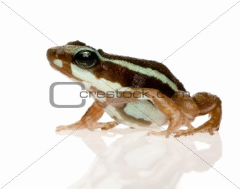 Phantasmal poison frog - Epipedobates tricolor