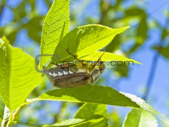 chafer on leaf