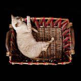 bengal cat on a basket
