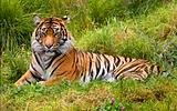 Large Striped Sumatran Tiger Relaxing in Grass
