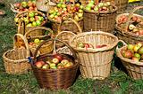 New season apples