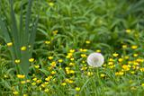Dandelion in Field of Yellow Flowers