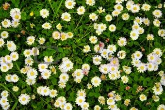 blooming dasies