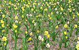 jonquil field