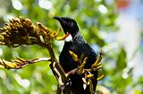 Tui on flax