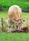 Just Born Cow
