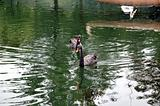 Two black swans floating on artificial lake