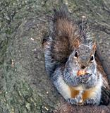 squirrel on verge of hollow with hazel-nut