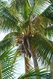 Palm Leaves with coconuts