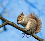 squirrel on the branch with a nut in paws