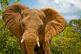 The Majestic African Elephant