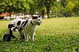 Cripple Cat In Wheelchair