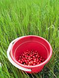 Red cherry bucket in green field