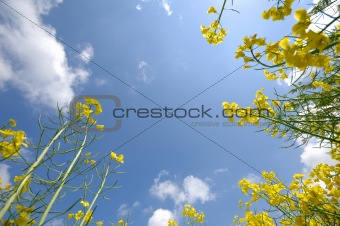 Sky, clouds and yellow rape
