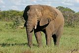 African bull elephant