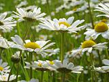 daisies meadow 1