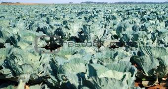 Cabbabe in field