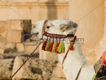 Camel in Palmyra