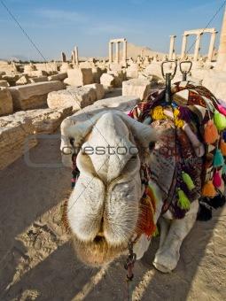 Camel in Palmyra