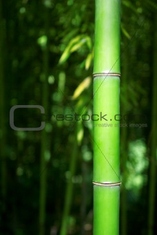 Green Bamboo Stalk