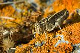 grasshopper on lichen