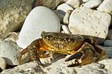 crab on the stone beach